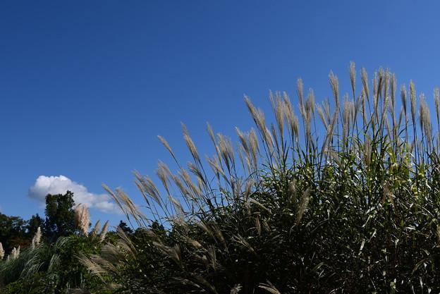 四季彩りの丘の薄