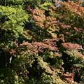 鳥居を包む紅葉