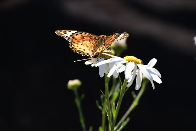ピレオ菊に止まるツマグロヒョウモン