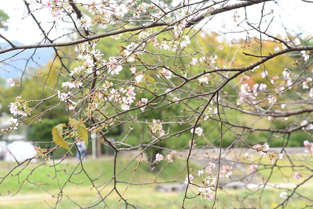 返り咲きの桜