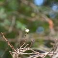咲き始めた子福桜(コブクザクラ)