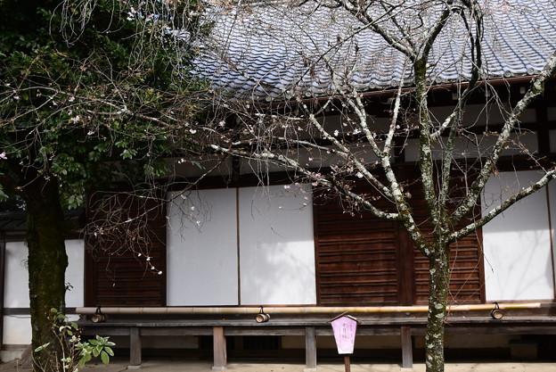 社務所脇の十月桜(ジュウガツザクラ)