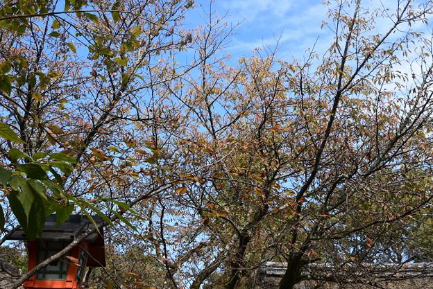 色付き始めた桜