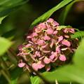 まだ綺麗な紫陽花(アジサイ)