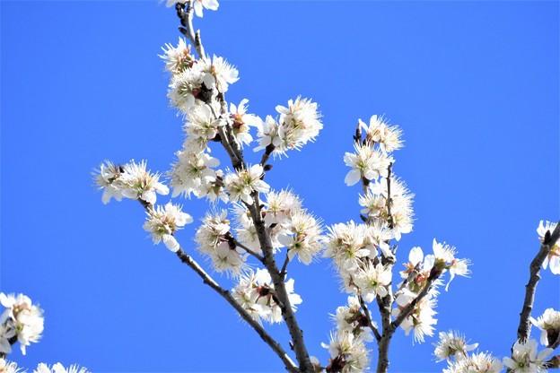 サクランボの花_2164