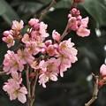 彼岸桜開花_2189
