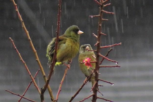 雨カワラヒワ_2228
