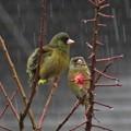 Photos: 雨カワラヒワ_2228
