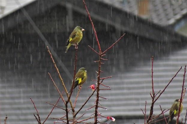 雨カワラヒワ_2224