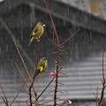 Photos: 雨カワラヒワ_2224