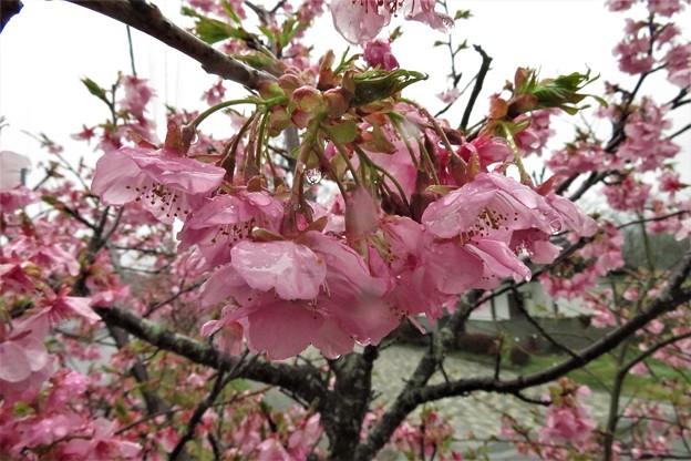 河津桜_2242