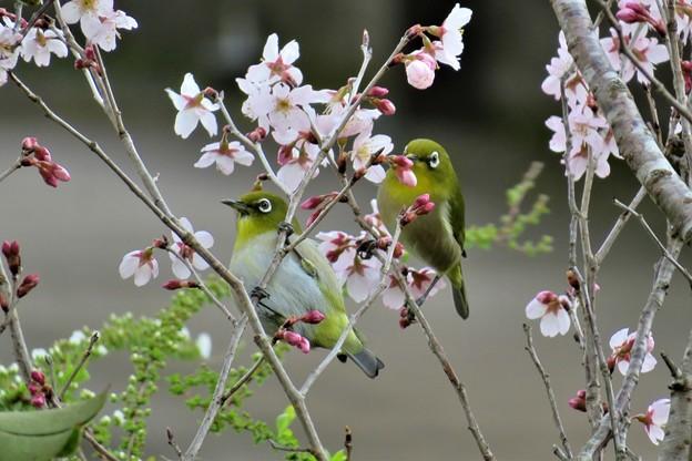 Photos: 彼岸桜メジロ_2293