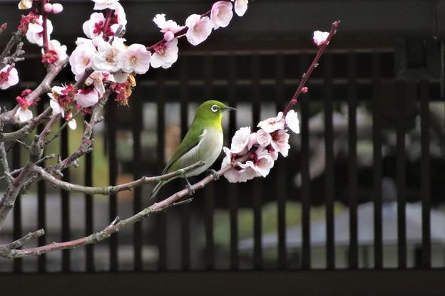 Photos: 白梅メジロ_2300