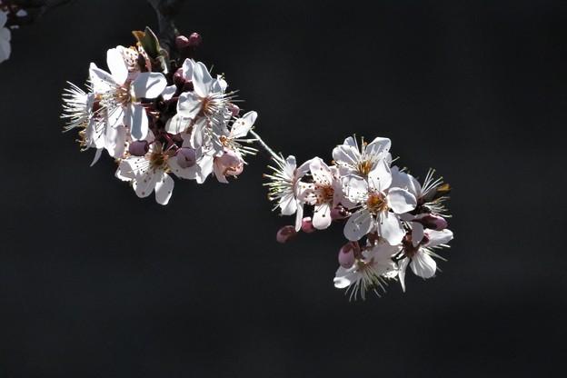 Photos: 彼岸桜の一種?_2319