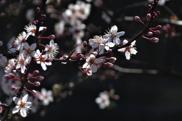 Photos: 彼岸桜の一種?_2320