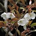 Photos: 山桜_2476