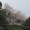 Photos: 山桜_2487
