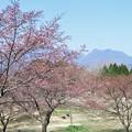 Photos: 大漁桜_2636