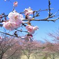 Photos: 大漁桜_2640