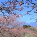 Photos: 大漁桜_2649