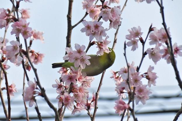 彼岸桜メジロ_2823