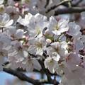Photos: 桜ソメイヨシノ_3166