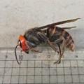 Photos: オオスズメバチ女王蜂?_3410
