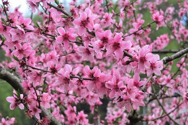 桃の花_3314