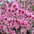 Photos: 桃の花_3314