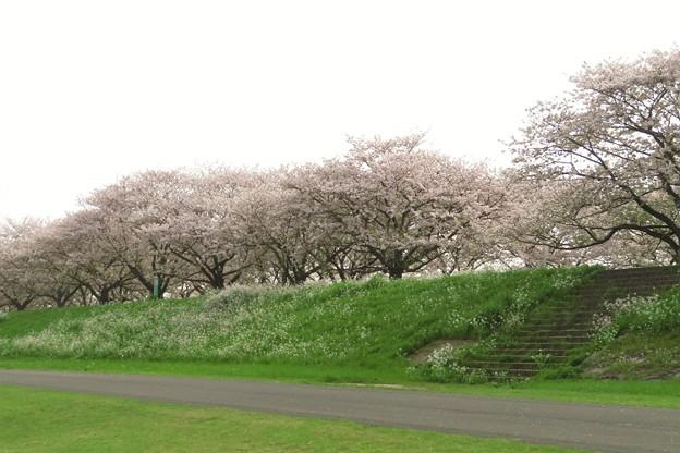 大野川桜づつみの桜並木_3512