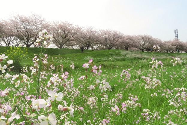 大野川桜づつみの桜並木_3534