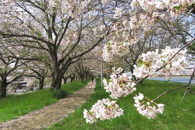 大野川桜づつみの桜並木_3539