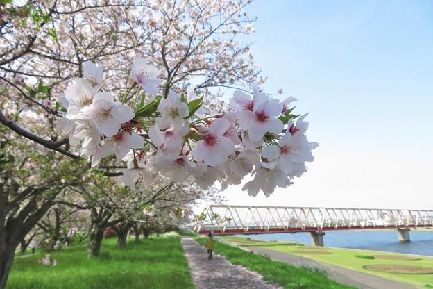 大野川桜づつみの桜並木_3542