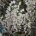 白い藤_3599