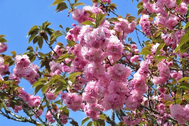 八重桜_3628