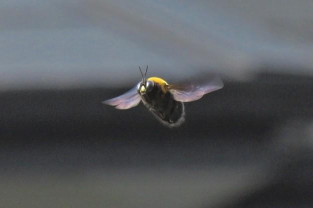 クマバチ♂_3745