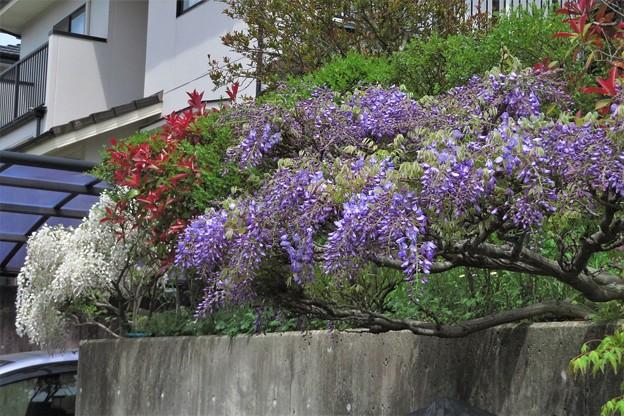 庭の藤_3786