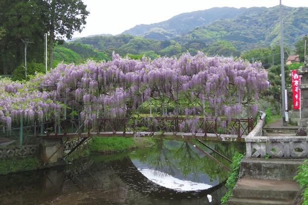 藤棚(西寒多神社)4_4157