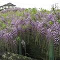 藤棚(西寒多神社)9_4151