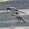 セグロセキレイ幼鳥_5000