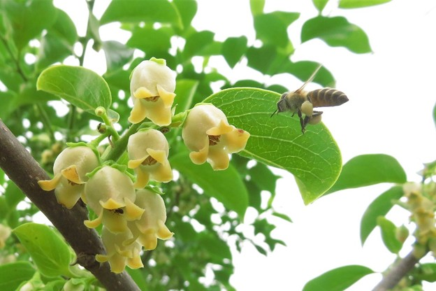 豆柿&蜜蜂_5333