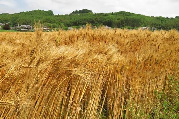 麦畑(麦秋)_5352