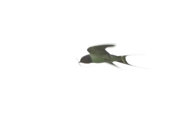 ツバメ♂巣材運び_6166