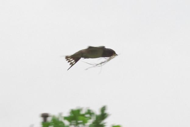 ツバメ♀巣材運び_6190