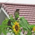 Photos: 向日葵ツバメ幼鳥_7600