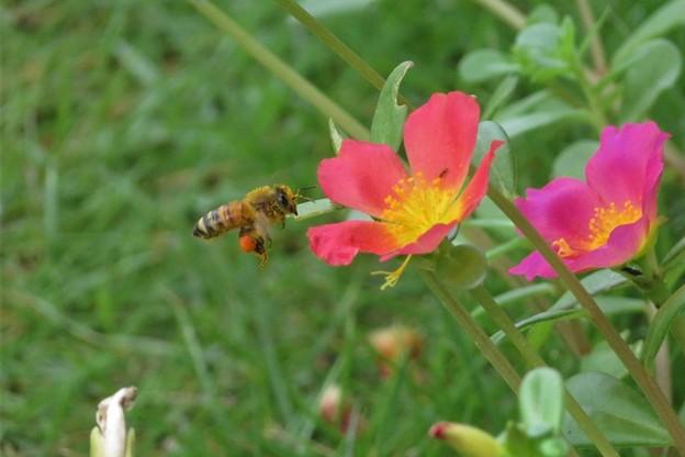 蜜蜂&ポーチュラカ_8459