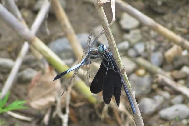 ハグロトンボ♀を食うシオカラトンボ♂_8656