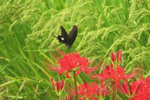 彼岸花にモンキアゲハ_9691