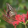 彼岸花にナミアゲハ_9831