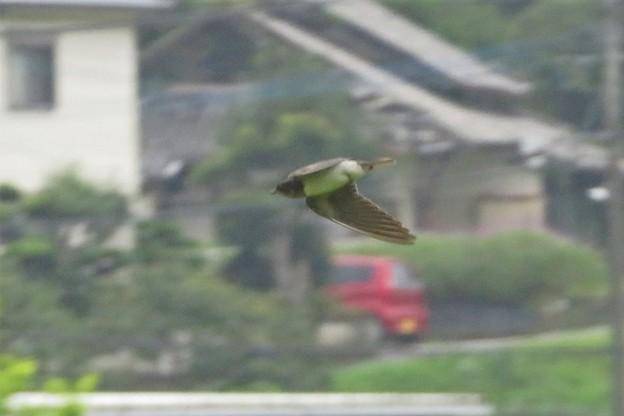 ツバメ幼鳥_9801